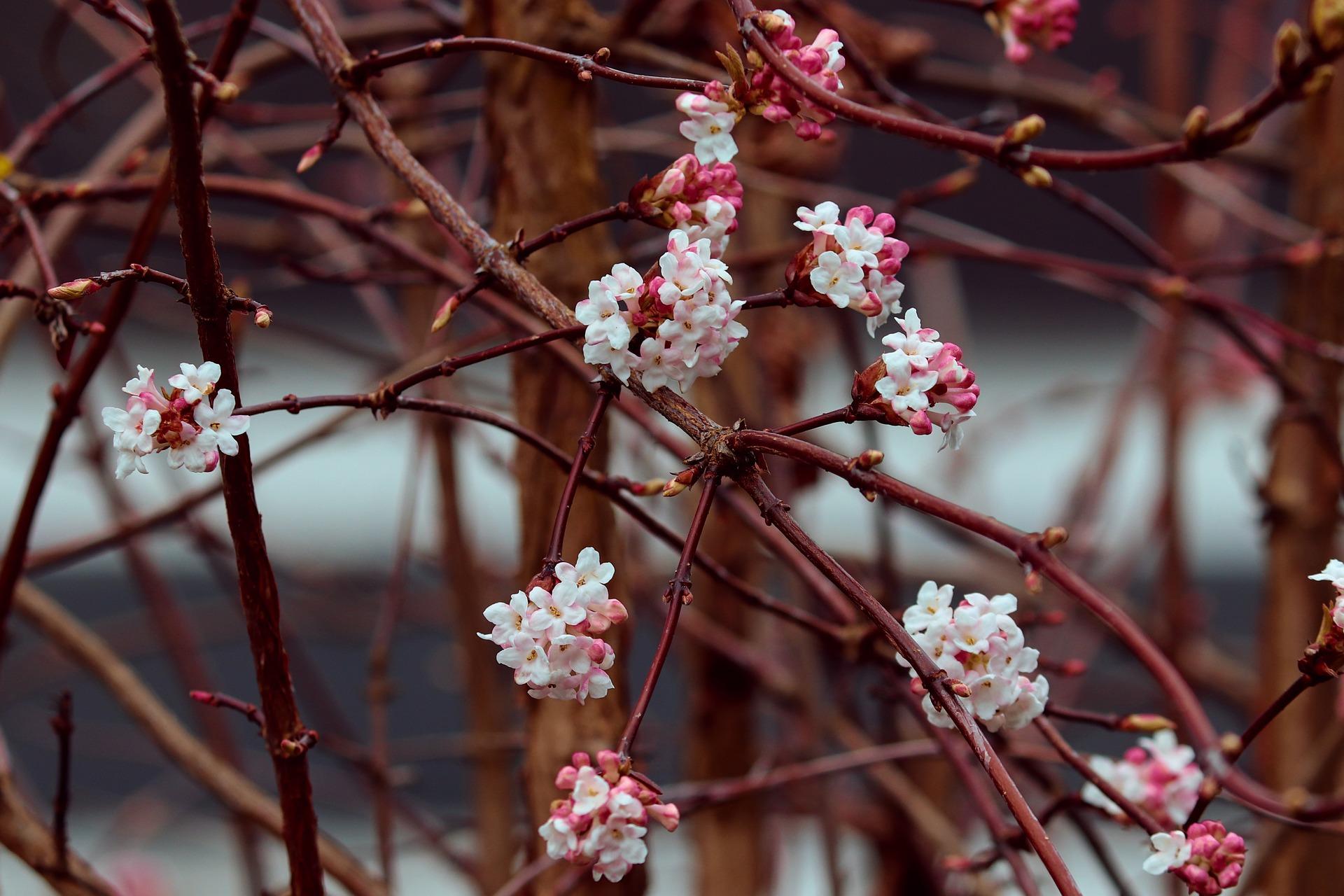 kalina kwitnąca zimą