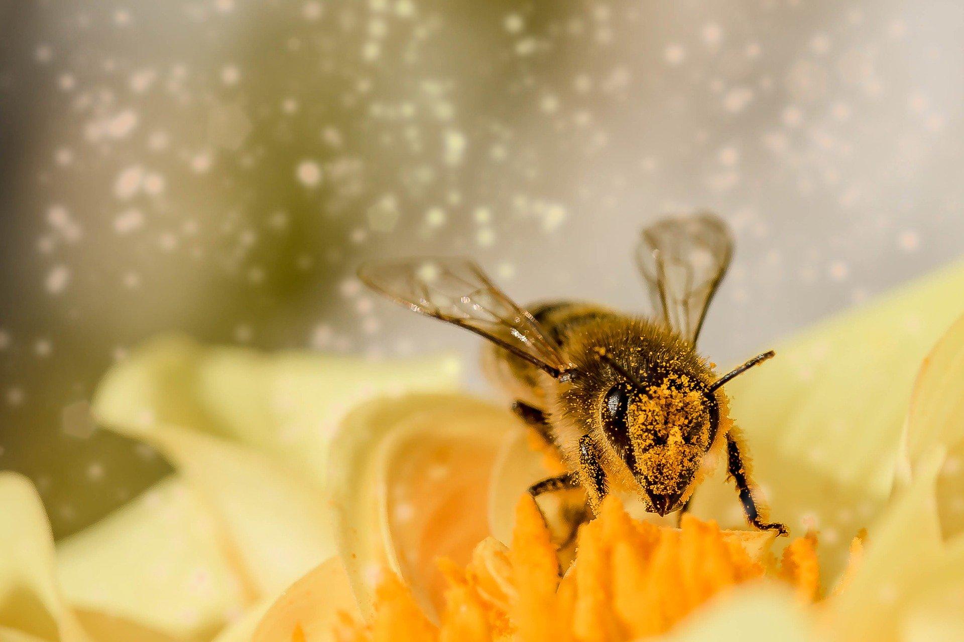 pszczoła w pyłku